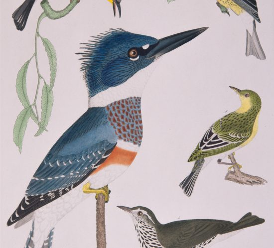 Plate 23 in Alexander Wilson's American Ornithology showing kingfisher with blue and orange feathers