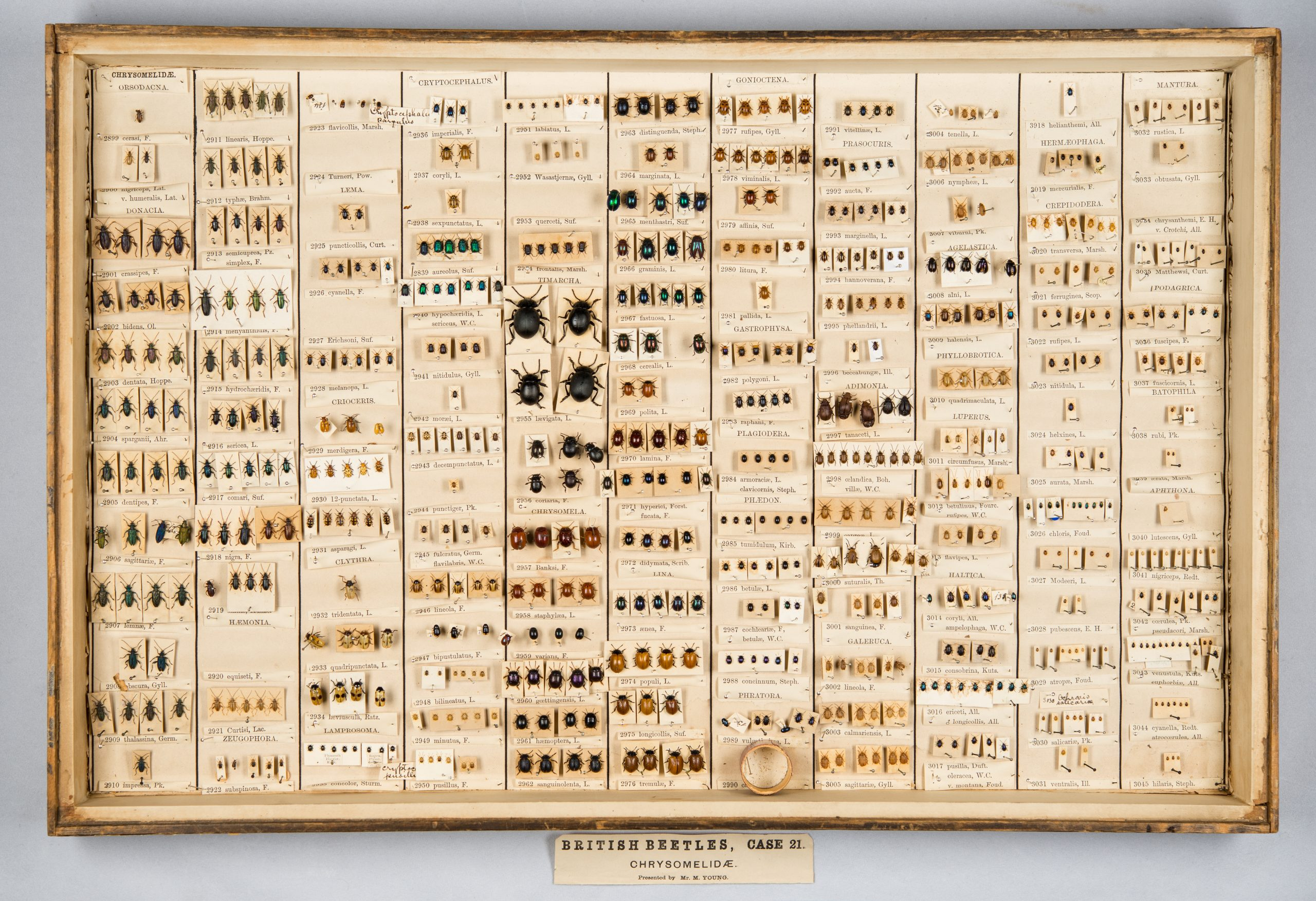 A collection of beetle specimens in a glass case